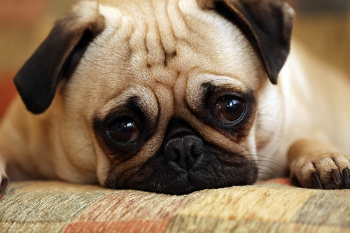 sad cute pug dog